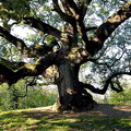 Se l'albero è monumentale scatta l'autorizzazione paesaggistica