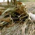 Costruire con arundo donax e bambù